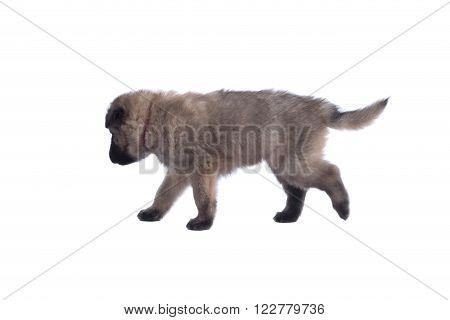 Puppy Belgian Shepherd Tervuren walking isolated on white background
