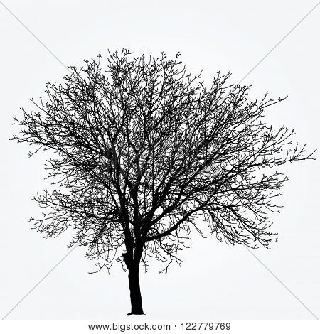 vector drawing of the big naked winter nut tree