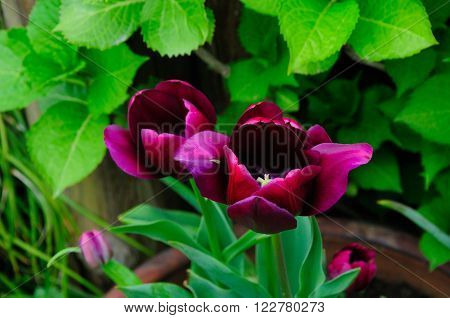 A maroon to dark purple tulip above green foliage at Shanghai Flower Port in shanghai China.