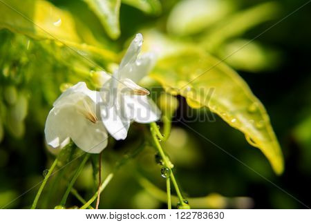 Fresh Orange Jasmine