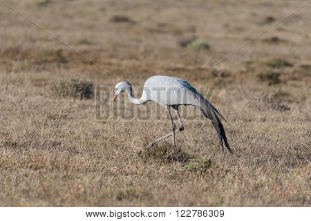 The national bird of South Africa the Blue Crane in the Addo Elephant National Park of South Africa. It is an endangered species