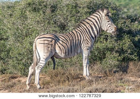 A Burchells zebra, Equus quagga burchellii, with genitals visible in the Addo Elephant National Park of South Africa
