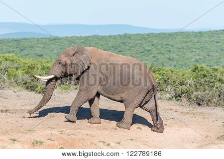 An African Elephant walking in the Addo Elephant National Park of South Africa
