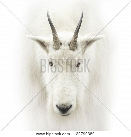 The mountain goat head isolated on white