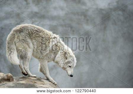 polar tundrian wolf standing on a cliff