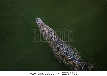 Alligator swimming in water, top view