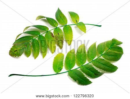 Two leafs of rowan isolated on white background