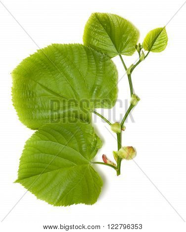 Spring Tilia Leaves