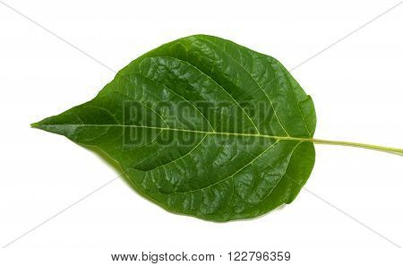 Spring leaf isolated on white background .