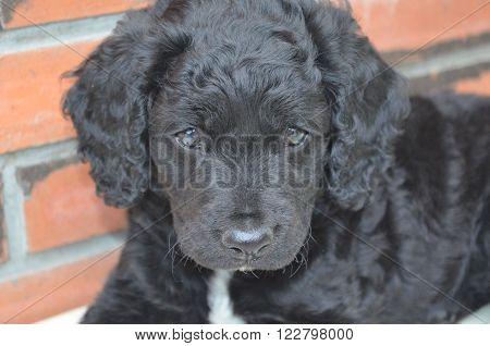 Cachorro somnoliento negro con gran mirada expresiva.