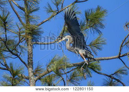 Heron with stick in beak in the tree in Fernan Idaho.