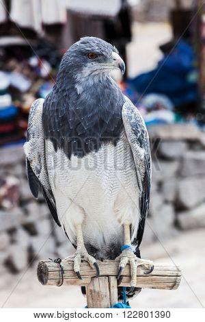 beautiful bird of prey close up