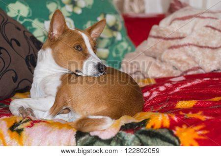 Basenji having rest on a favorite place on sofa