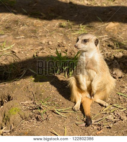 Meerkat on guard watching for trouble
