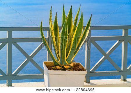 Plant in a pot - Santorini, Oia,  Greece