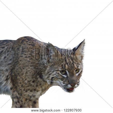Digital Painting of Wild Bobcat