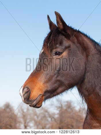 Profile of a cute dark bay Arabian horse against blue winter sky