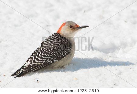 Female Red-bellied Woodpecker sitting on snow in winter sun