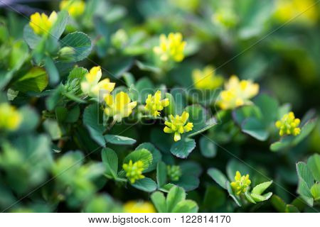 Yellow flowers of the clover. Close up.