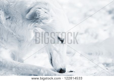 Russian Borzoi sight-hound in close-ups against snow background