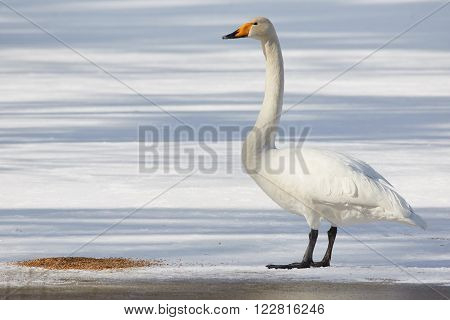 Whooper swan (Cygnus Cycnus) standing on the ice of a frozen lake in Finland in winter. Beautiful late afternoon sunlight.