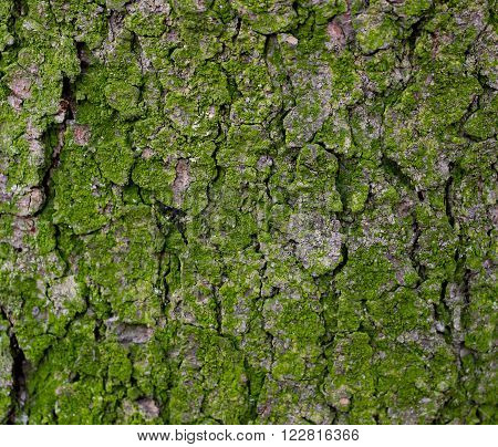 Bark and moss texture. Green background bark with moss