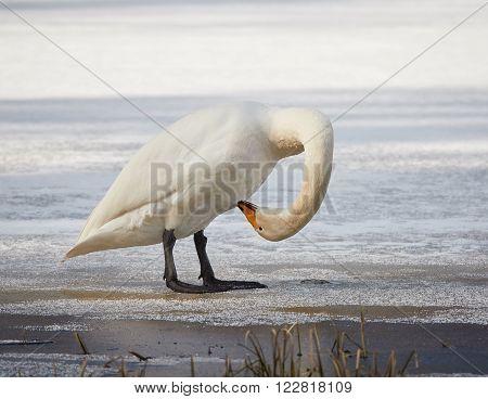 Whooper Swan Scratching