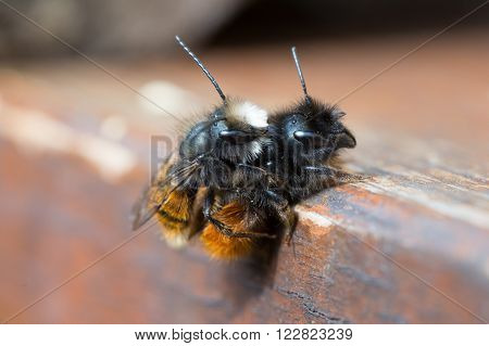 Mating Osmia Cornuta a specie of solitary bees.