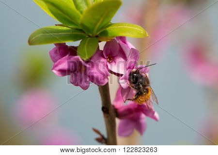 Osmia Cornuta a specie of solitary bees pollinating flowers