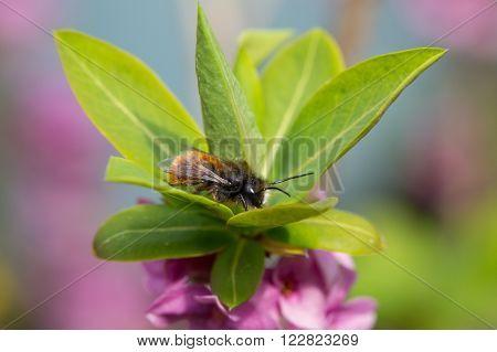 Osmia Cornuta a specie of solitary bees on a garden flower