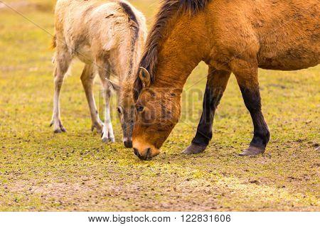 Przewalski horse (Equus przewalski) portrait. Wild european horse photographed in animal park