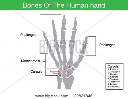 Components description of human hand bone in illustration for work with medical content.