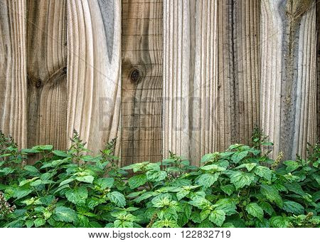 Wooden Fence Behind Patchouli Plant
