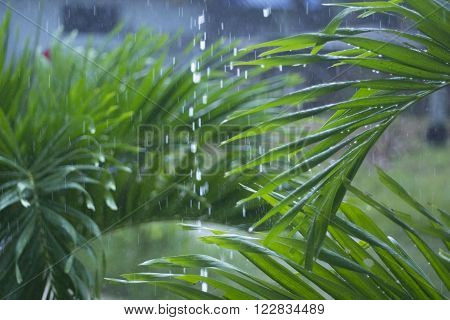 Green palm leathes under the rain in Thailand