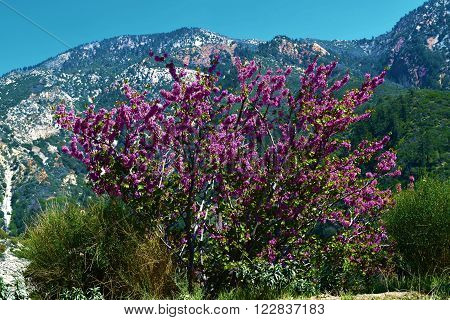 Spring flowers with mountains beyond taken in Mt Baldy, CA