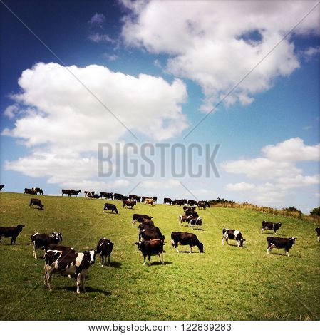 Dairy cows in paddock, New Zealand