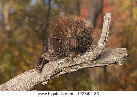 Porcupine (Erethizon dorsatum) Looks Down from Branch - captive animal