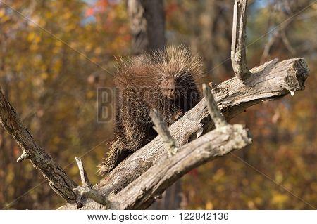 Porcupine (Erethizon dorsatum) Turns Left - captive animal