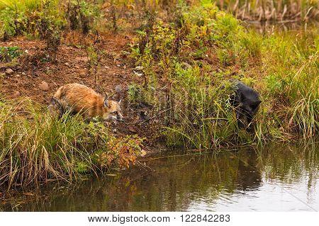 Red Fox and Silver Fox (Vulpes vulpes) on Shoreline - captive animals