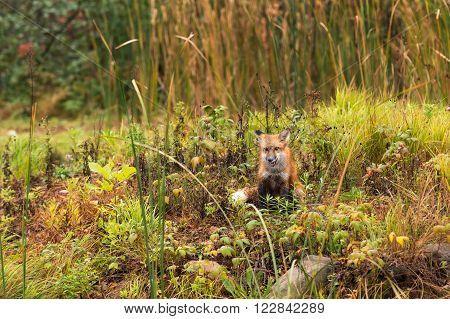 Red Fox (Vulpes vulpes) Sits - captive animal