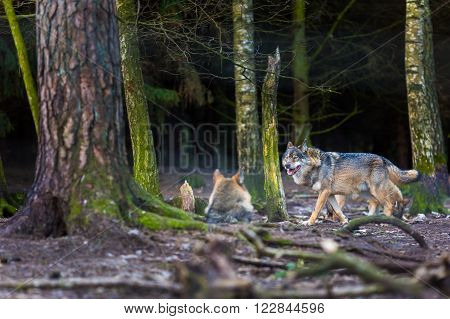 Gray wolf photographed in animal park. Wild wolf