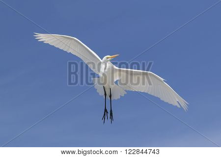 Great Egret In Flight - Florida