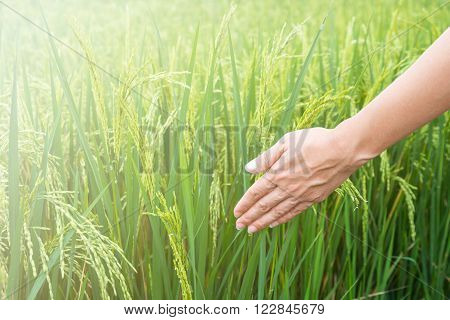 woman's hand touching the green rice fields.