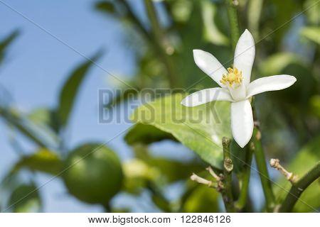 Close up white lemon flower under blue sky