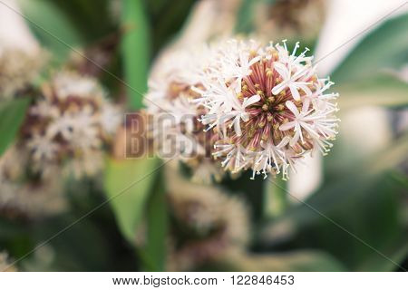 Vintage tone, soft focus, blossom Dracaena Fragrans flowers, selective focus