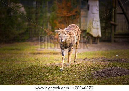 Mouflon female standing on grass. Animal portrait of wild sheep