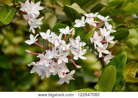 white karonda flower in garden Carissa carandas L.