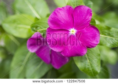 Close up vivid pink madagascar periwinkle flower in front of green leaves
