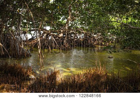 Mangrove trees and swamp near ocean shore at Florida Keys