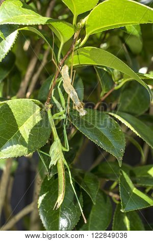 Final molting green mantis hanging off camellia tree in vertical composition